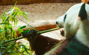 Panda Bamboo Coffee